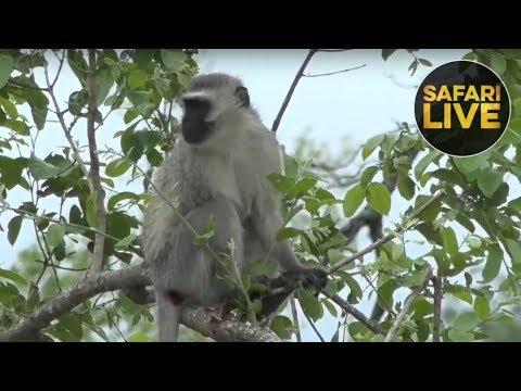 safariLIVE - Sunrise Safari - December 9, 2018