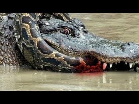 MORTAL FIGHTS - ANACONDA VS CROCODİLE