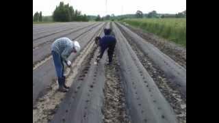 Sadzenie truskawek na podwyższonych zagonach