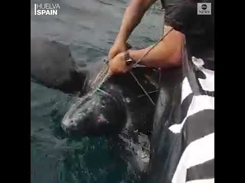 Officials rescue leatherback turtle tangled in fishing equipment | ABC News