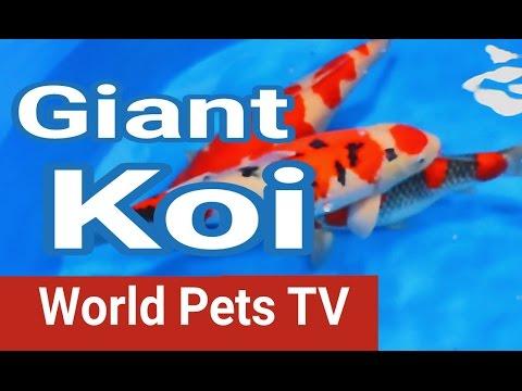 San Diego Koi Show & Coast Gem USA Goldfish