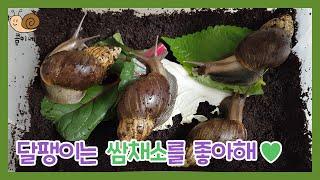 + 달팽이 쌈채소 먹방…