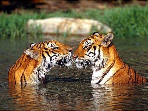 Ringtone - tiger - tigre