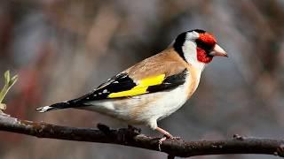 Голоса птиц. Щегол (Carduelis carduelis)