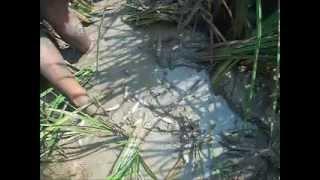 Repeat youtube video จับปลาช่อนนาอ.ชนบทบ้านท่าข่อย2