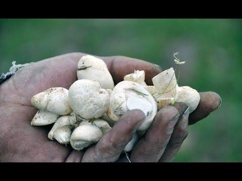 Весенняя грибалка - Белый степной гриб