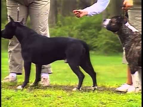 American Staffordshire Terrier - AKC Dog Breed Series