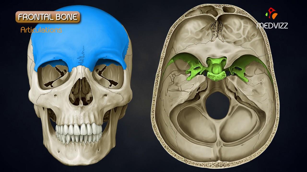 Anatomy Of Frontal Bone Animated Osteology Mbbs Fmge Neet Pg