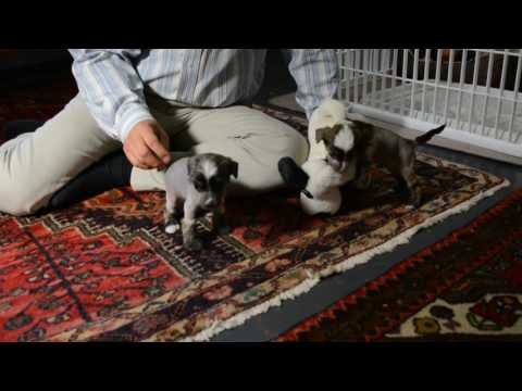 4 26 17 Mythic Kingdom Chinese Crested Donvoan hairless puppy