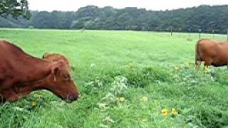 Jersey and Angus Cows - Pastured