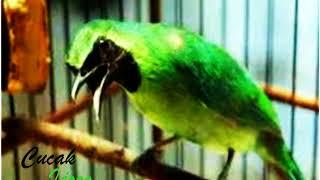 Gambar cover Merdunya suara burung cucak ijo di alam  liar