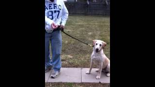 Walking On Leash Without A Prong Collar And Training