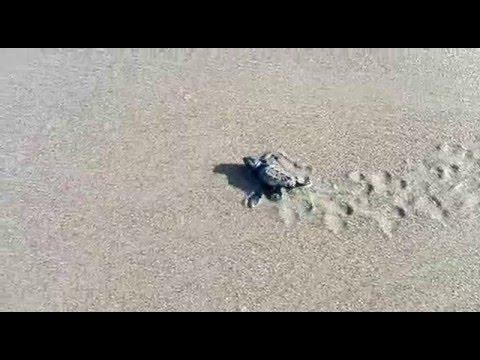 Incredibile uova di tartaruga in spiaggia e subito acca for Incubazione uova tartaruga