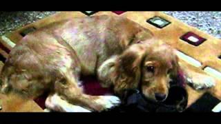 Cute Cockerspaniel Puppy Heidi Grows Up: 0- 1 Years  [hd]