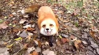 Fox go BLIP