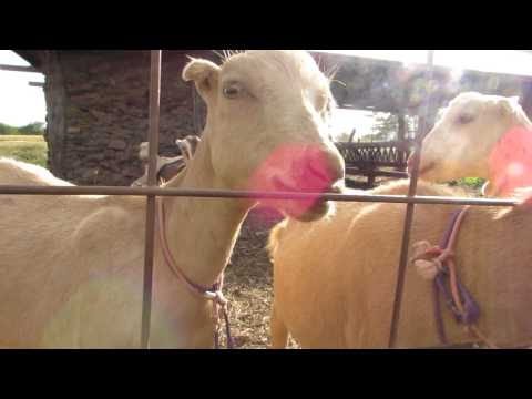 Maui Goats Say Hello
