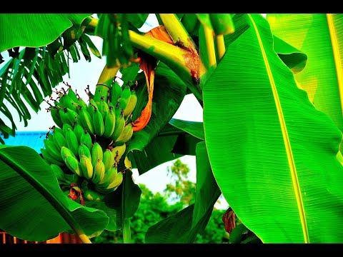 สวนกล้วยกล้วยปากช่อง50 จังหวัดศรีสะเกษ