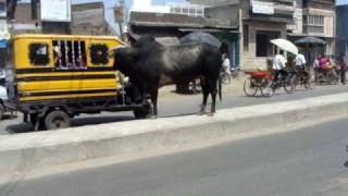 Free roaming holy cow bystander in the middle of a noisy Indian road