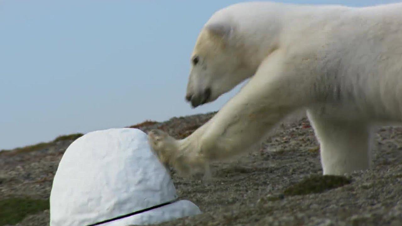 f1afcaced3d Polar Bear destroys spy cam | Polar Bear Spy On The Ice | BBC Earth ...