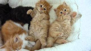 Red persian kittiens - who has the cutest tummy?