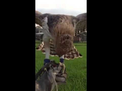 Huấn luyện chim săn mồi