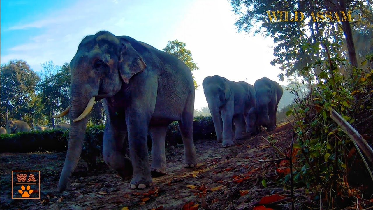 GOLAGHAT ELEPHANT HERD IN CAMERA TRAP