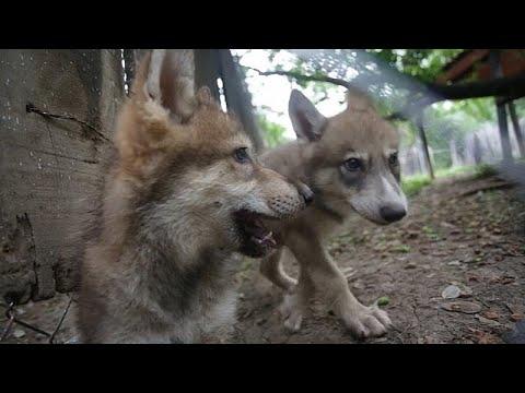 شاهد: حديقة حيوانات مونتيري تستقبل جراء متوحشة  - نشر قبل 2 ساعة