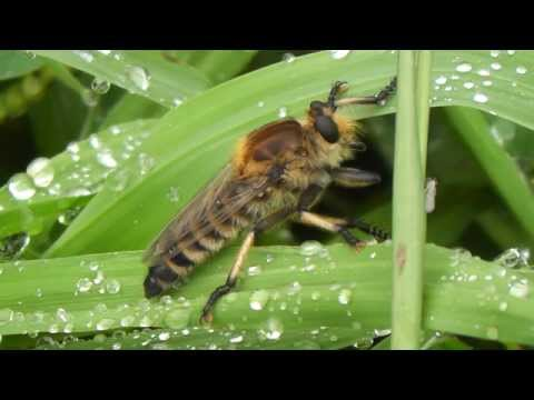 Robber fly (Promachus yesonicus)