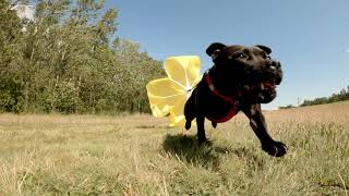 Staffordshire Bull Terrier // Dog training with parachute