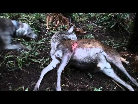 Kaimai Day Hunt:Pre Roar:Hunting New Zealand