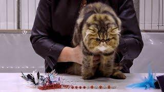 CFA International Cat Show 2018 - Persian kitten class judging - Tabbies