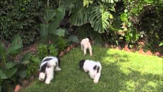 Havanese Dogs And French Poodle In Chapala, Mexico Canon Vixia Hf R100