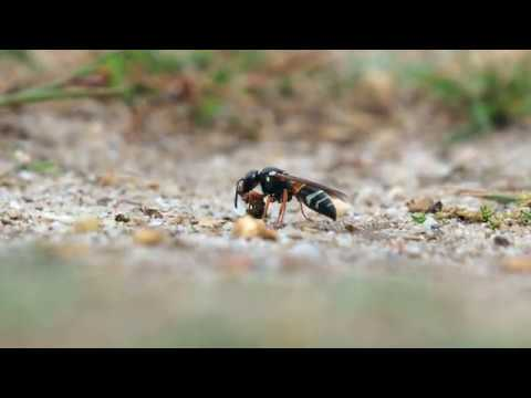 Purbeck Mason Wasp