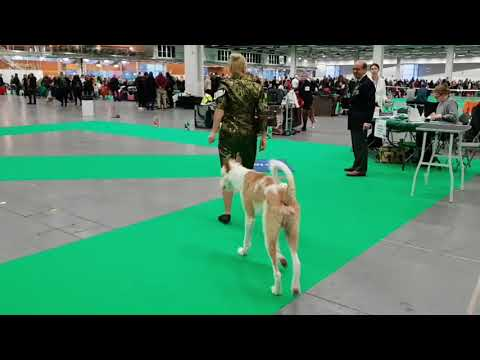 Swedish Winner Stockholm 18.12.09 IBIZAN HOUND Males Wired