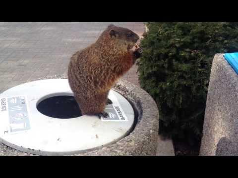 Groundhogs at York University, Toronto, Canada