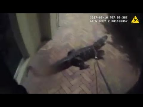 Video shows Florida police officer grapple with alligator