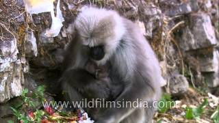 Uttarakhand: Langur eats and climbs up a wall