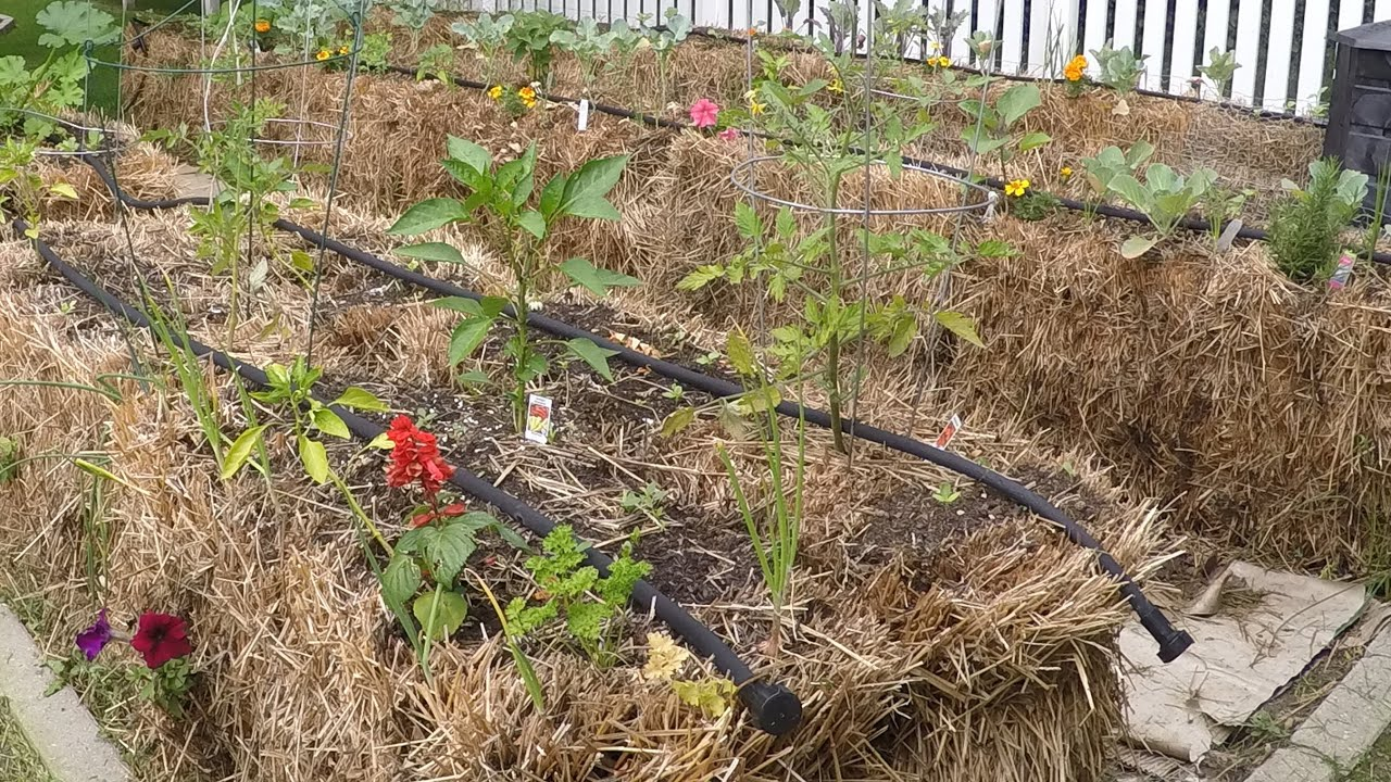 Straw Bale Garden Versus Marsh Hay Lessons Learned