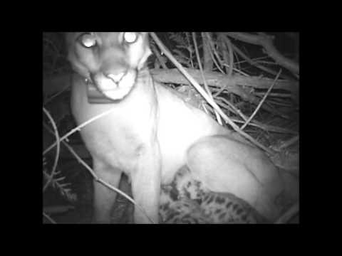 Where Do Pumas Den?