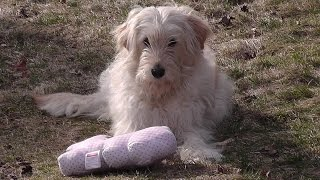 Golden Retriever Poodle Mix Ally. Performance Caught On Camera, Funny & Cute. B Set56 2015