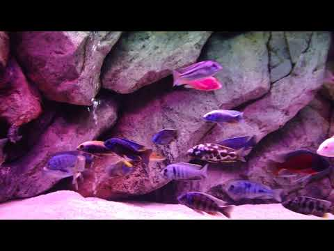 220 Gallon Malawi Haplochromis Show Tank with 3D Background