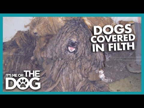 Poodles That Look Like Monsters! | Britain's Favourite Dogs
