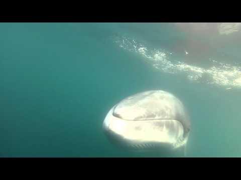 Curious Antarctic minke whale