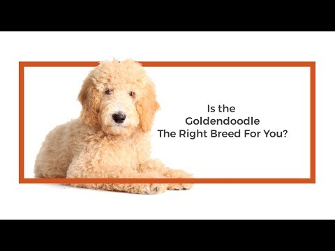 Is the Goldendoodle the right breed for me?