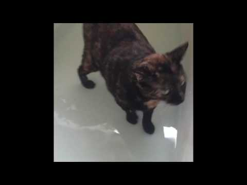 Manx cat playing in the bath tub in water