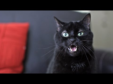funny cat try not to laugh, funny cat talking and singing song, funny cat ultimate