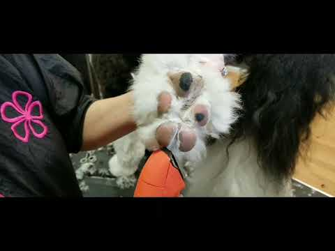 Platinum Pooch Grooming in Action: Sully the Sheepadoodle's Groom
