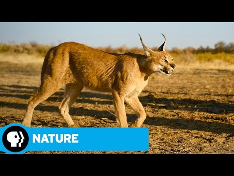 NATURE | The Story of Cats | Asia to Africa | Preview| PBS