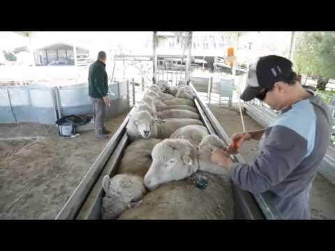 ProWay Sheep Bulk Handler