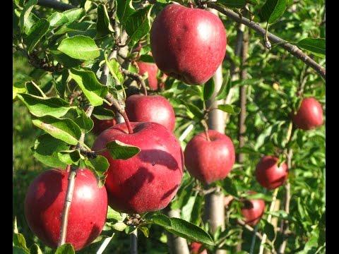Яблоня Рихард на М9